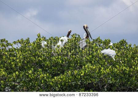 Great Egret and Brown Pelican in a Rookery