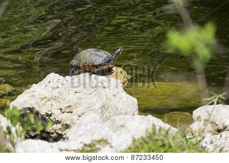 Red-bellied Turtle Sitting on a Rock by a River