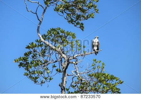 Osprey Sitting on a Tree Branch