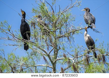 Cormorants Sitting on a Tree