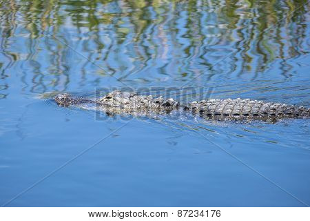 American Alligator Swimming in a River