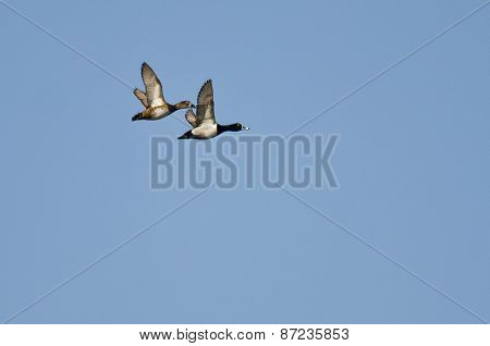 Pair Of Ring-necked Ducks Flying In A Blue Sky