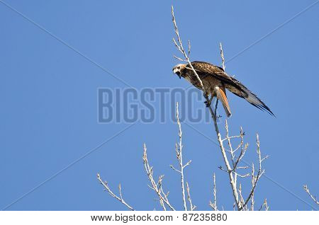 Red-tailed Hawk Calling From The Tree Tops