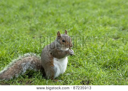 Squirrel standing and eating a nut. Grey squirrel in the meadow