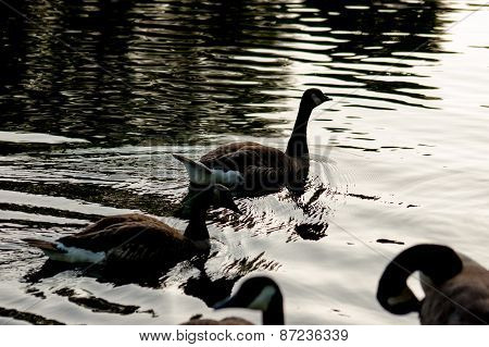 Wild duck in a pond backlit image