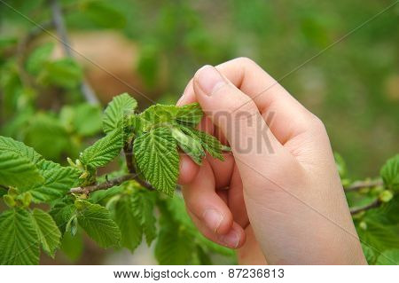 Woman hand touching green hazel leaves