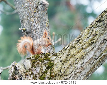 wildlife animal. red squirrel sitting on a tree in the forrest