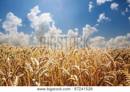 field of grass. meadow wheat under sky