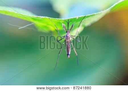 Mosquito On Green Leaf
