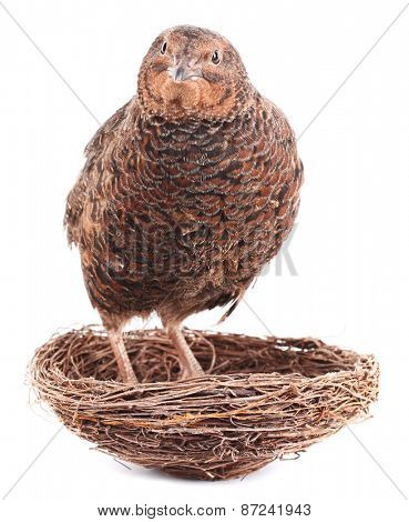 Brown quail is standing in nest