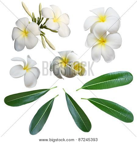 White Frangipani flower and leaves isolated  background