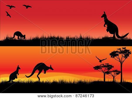 Australian Kangaroos In The Sunset