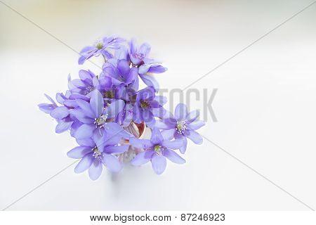 Violets Blossoms