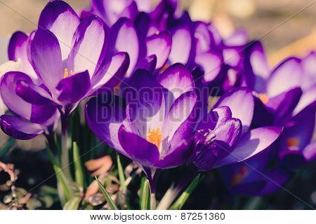 Macro Of First Spring Flowers In Garden Crocus Retro