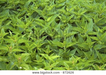 Stinging Nettle With Touch Of Yellow For Background