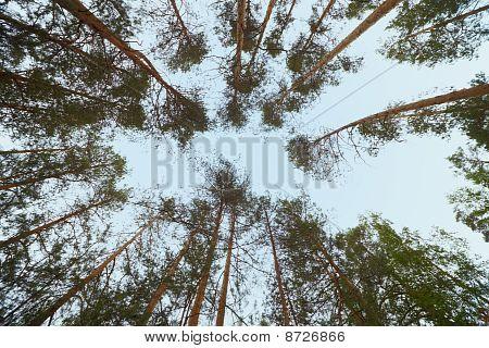 Sky In Zenith - Pine Wood