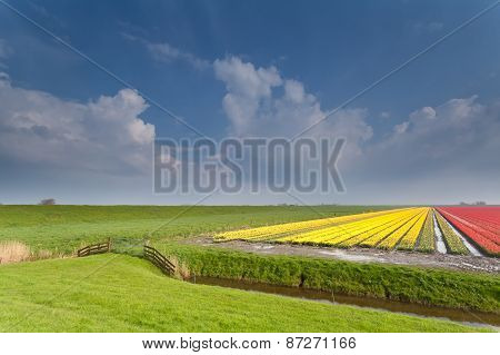 Dutch Farmland With Tulip Field