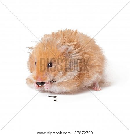 Hamster isolated on a white background