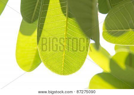Leaves Of Plumeria Frangipani