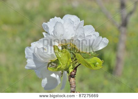 Flowers Of Pear