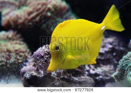 Tropical Yellow Tang Aquarium Fish, Closeup Photo