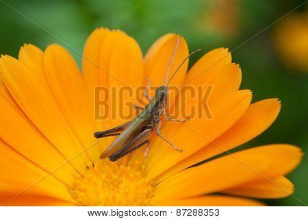Grosshopper