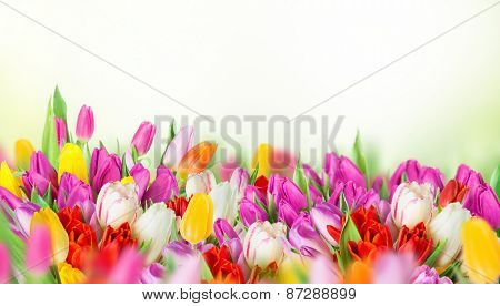 tulips over white background, bouquet of spring easter flowers.