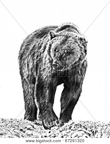 Line art, or pen and ink style rendition of a Grizzly bear