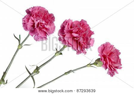 three pink carnations. Still-life on a white background