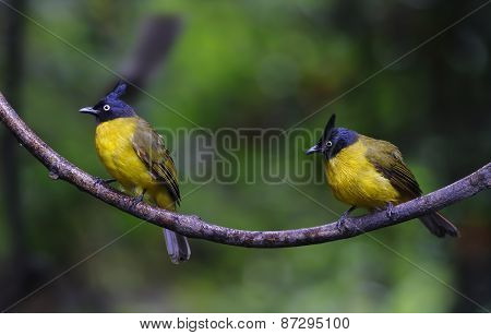 Black-crested Bulbul Pycnonotus Flaviventris