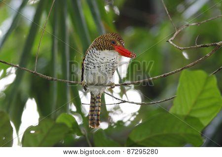 Banded Kingfisher Lacedo Pulchella