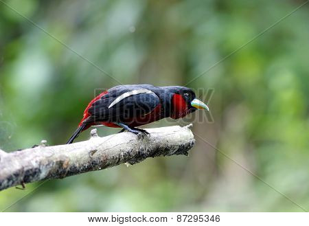 Black-and-red Broadbill Cymbirhynchus Macrorhynchos