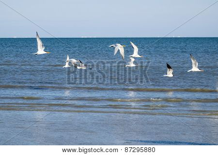 Royal Terns and Laughing Gulls in Flight Over the Ocean