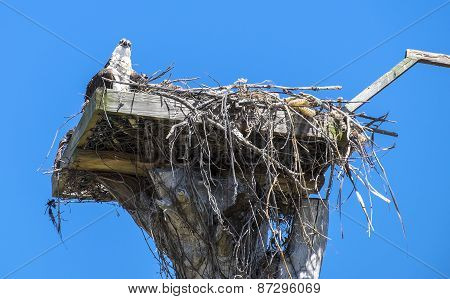 Adult and Baby Osprey in the Nest