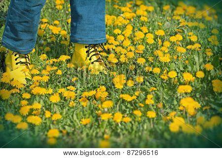 Spring in meadow - dandelion flowers