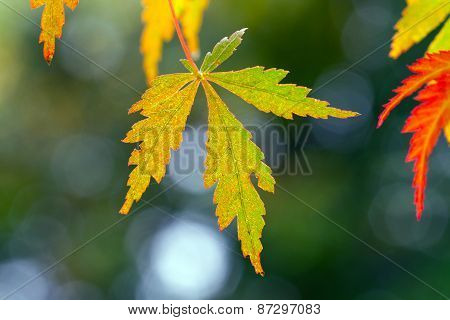 Green and red Maple Leaves with bokeh