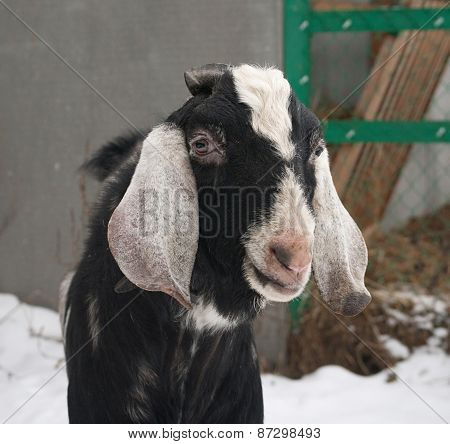 Nubian Black Goat Standing On Snow