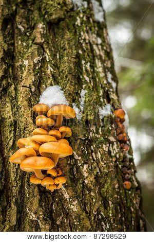 Flammulina - Edible Mushrooms