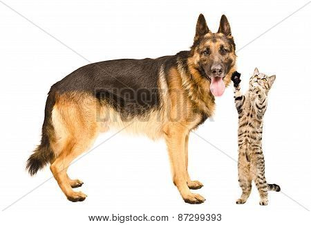 Playful cat and a German Shepherd