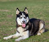 stock photo of siberian husky  - Siberian Husky is resting after jogging - JPG