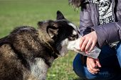 picture of siberian husky  - Siberian Husky drinks water from a plastic cup - JPG