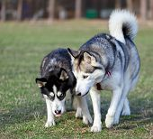 foto of domination  - Two Siberian Husky is strolling next to each other - JPG