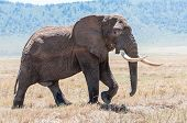 stock photo of tusks  - A huge elephant bull walks over the drie grassland inside the Ngorongoro Crater in full view showing of his enourmous tusks - JPG