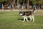 picture of sticks  - Siberian Husky with a stick in his mouth - JPG