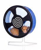 pic of hamster  - syrian hamster on white studio background posing - JPG