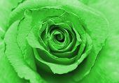 pic of rose close up  - Close up image of beautiful green rose  - JPG