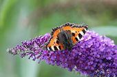 stock photo of butterfly-bush  - Small Tortoiseshell  - JPG