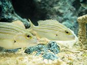 pic of saltwater fish  - Closeup shot of two saltwater yellow fishes - JPG