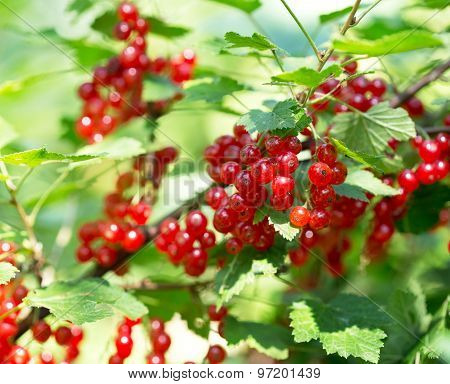 Ripe Red Currant In A Garden