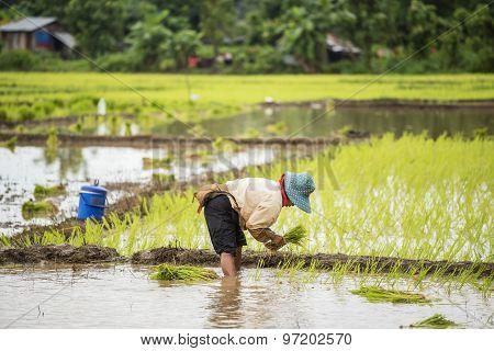 Thai farmer planting rice in the farm.